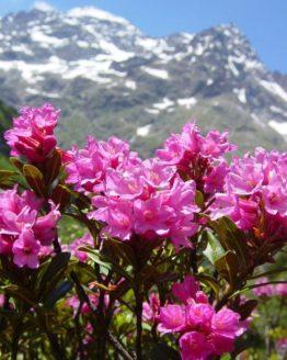 miel de rhododendron, miel rhododendron, rhododendron miel, miel de rhododendron pyrenees, rhododendron montagne, rhododendron de montagne