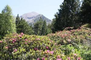 miel rhododendron, rhododendron, miel